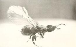 Image of <i>Blastophaga psenes</i> (Linnaeus 1758)