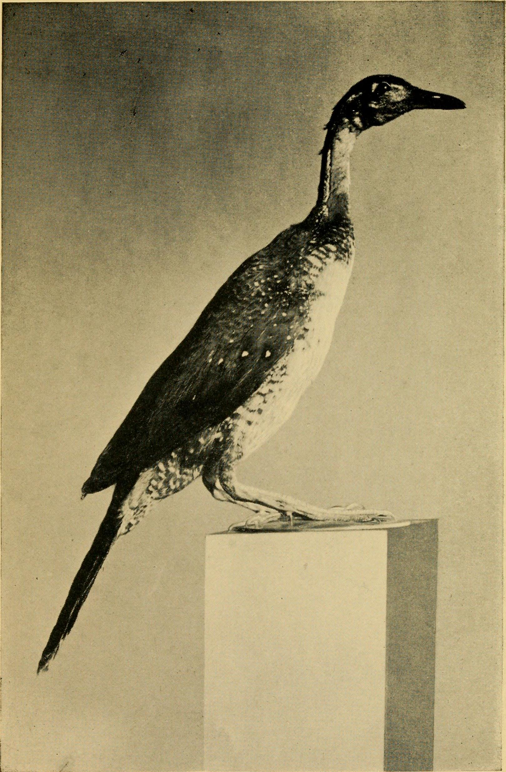 Image of African Finfoot