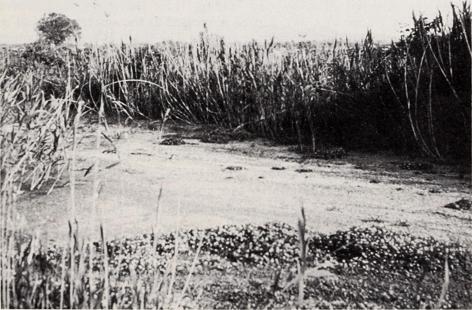 Image of Corfu toothcarp