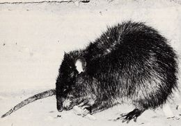 Image of Greater Bandicoot Rat