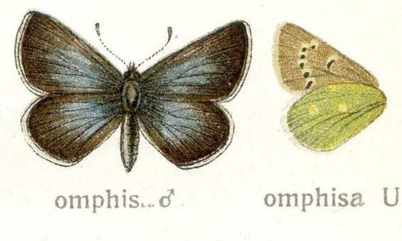 Image of <i>Polyommatus omphisa</i> Moore 1874