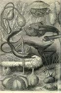 Image of Abyssal Halosaur