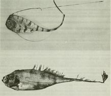 Image of <i>Zu cristatus</i> (Bonelli 1819)