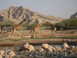 Image of Nubian Giraffe