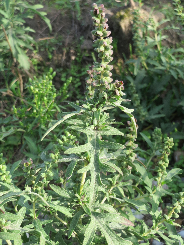 Image of Cuman ragweed