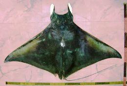 Image of Bentfin Devil Ray