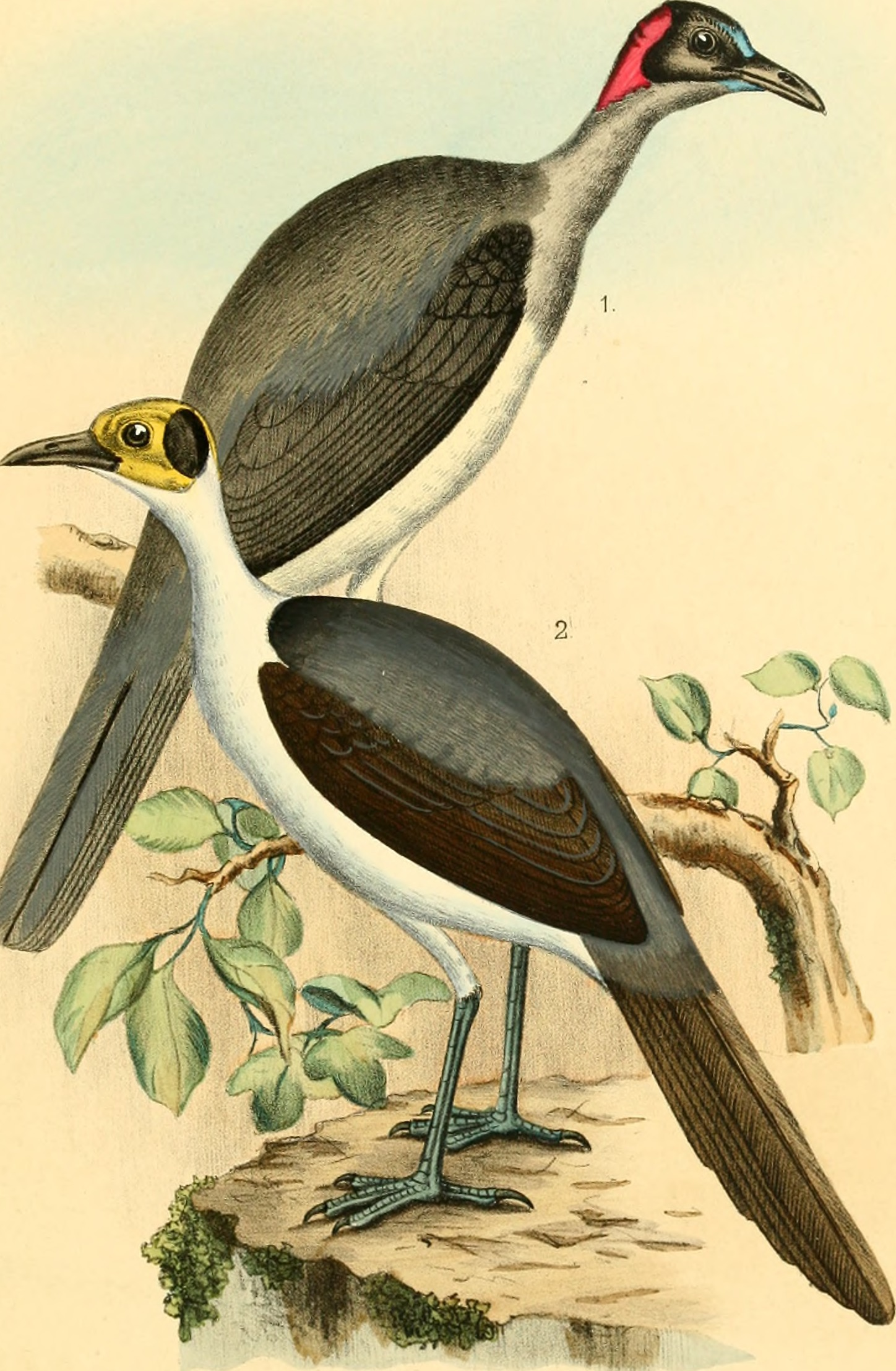 Image of Grey-necked Picathartes
