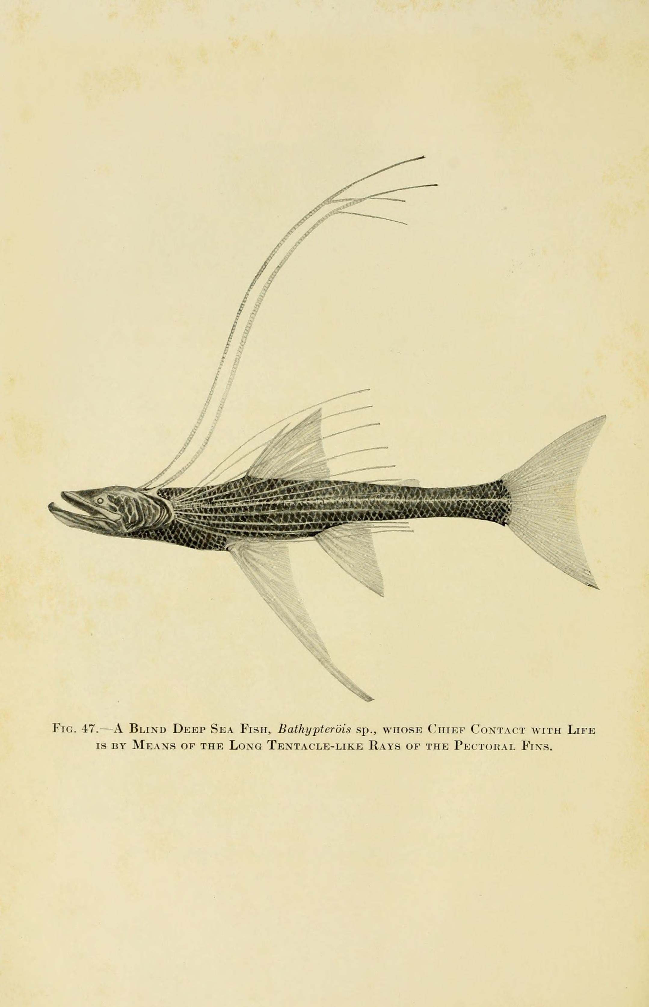 Image of Bathypterois