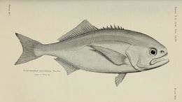 Image of Antarctic butterfish