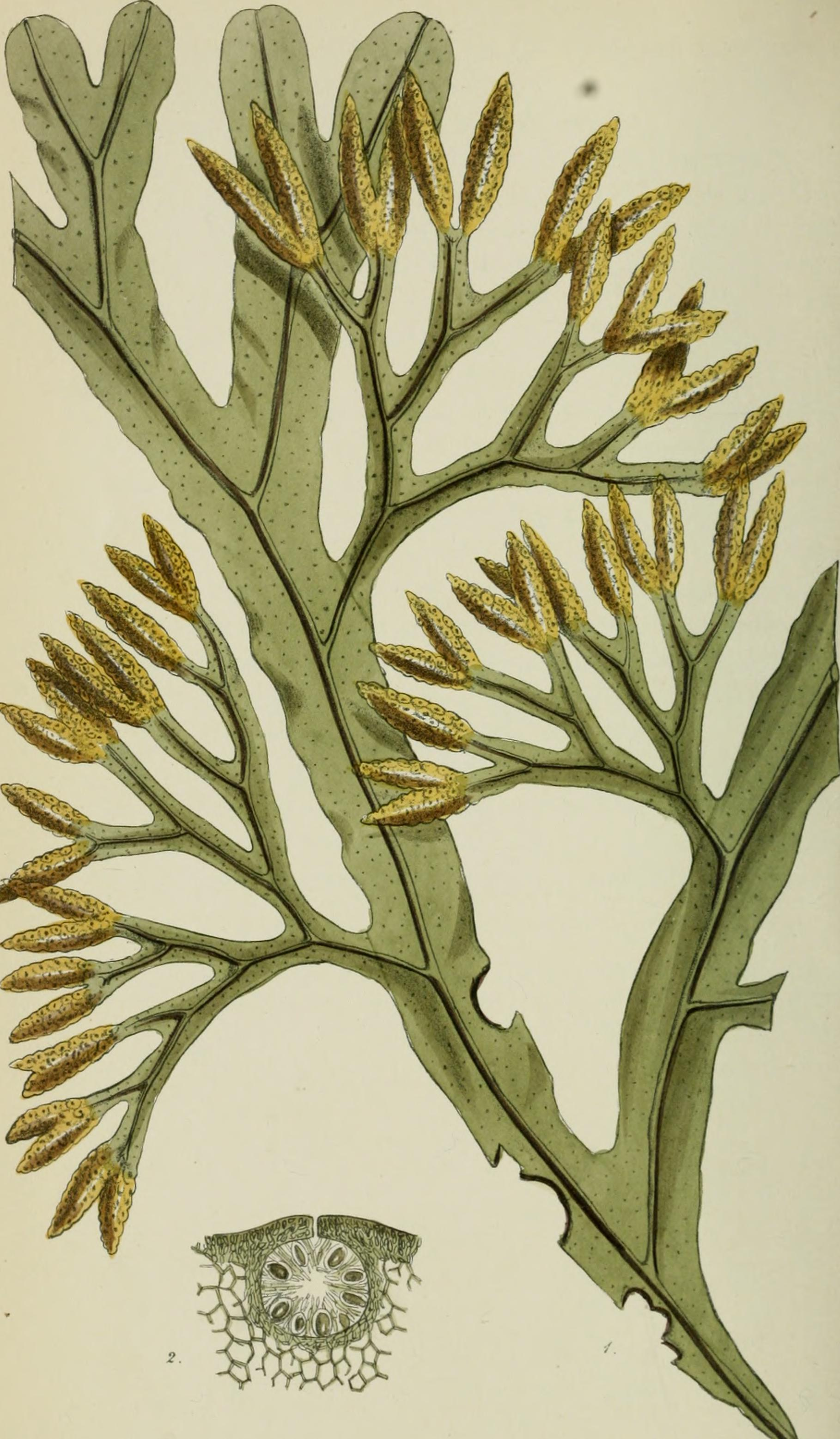 Image of <i>Fucus ceranoides</i>