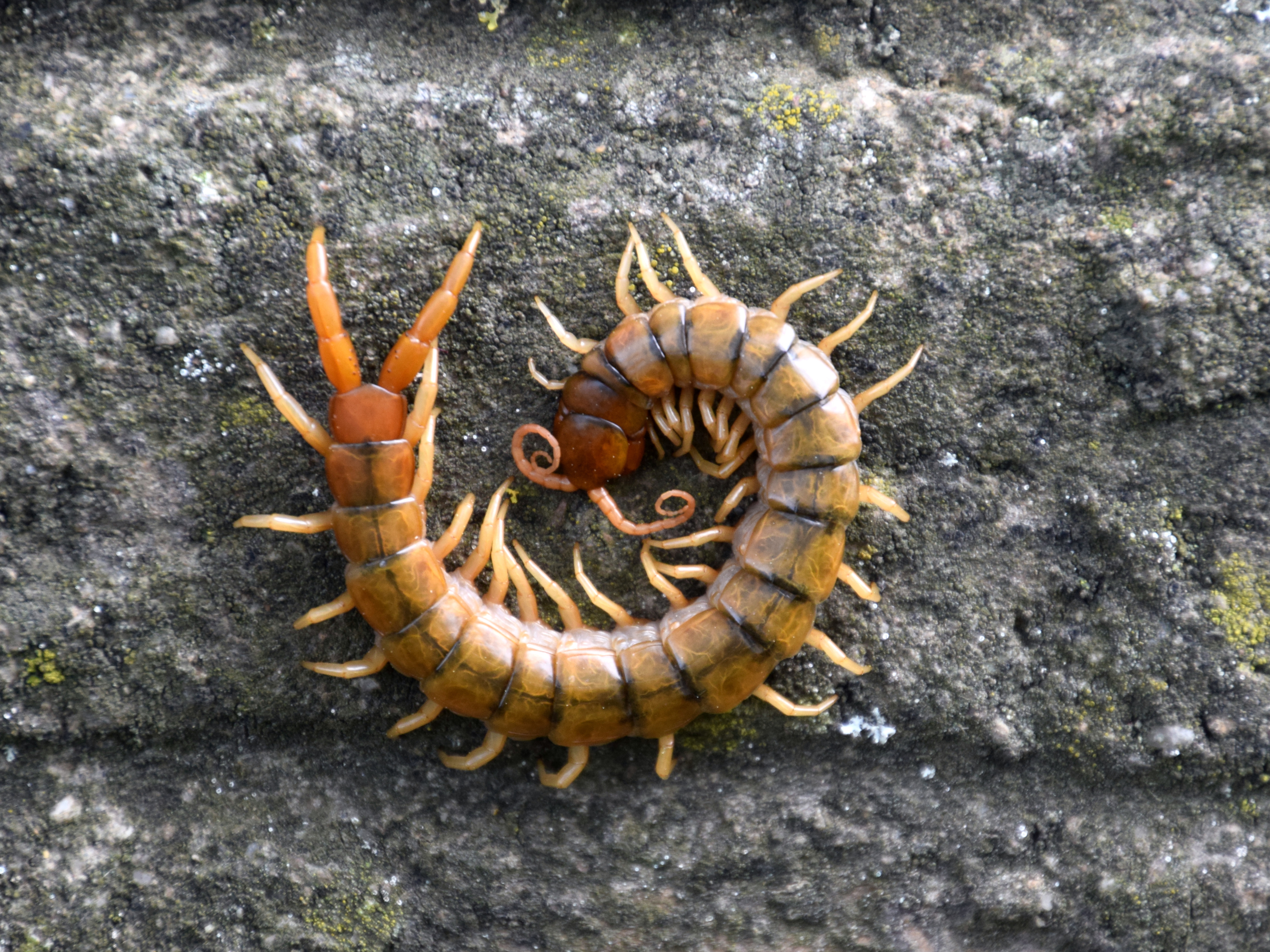 Image of Scolopendridae