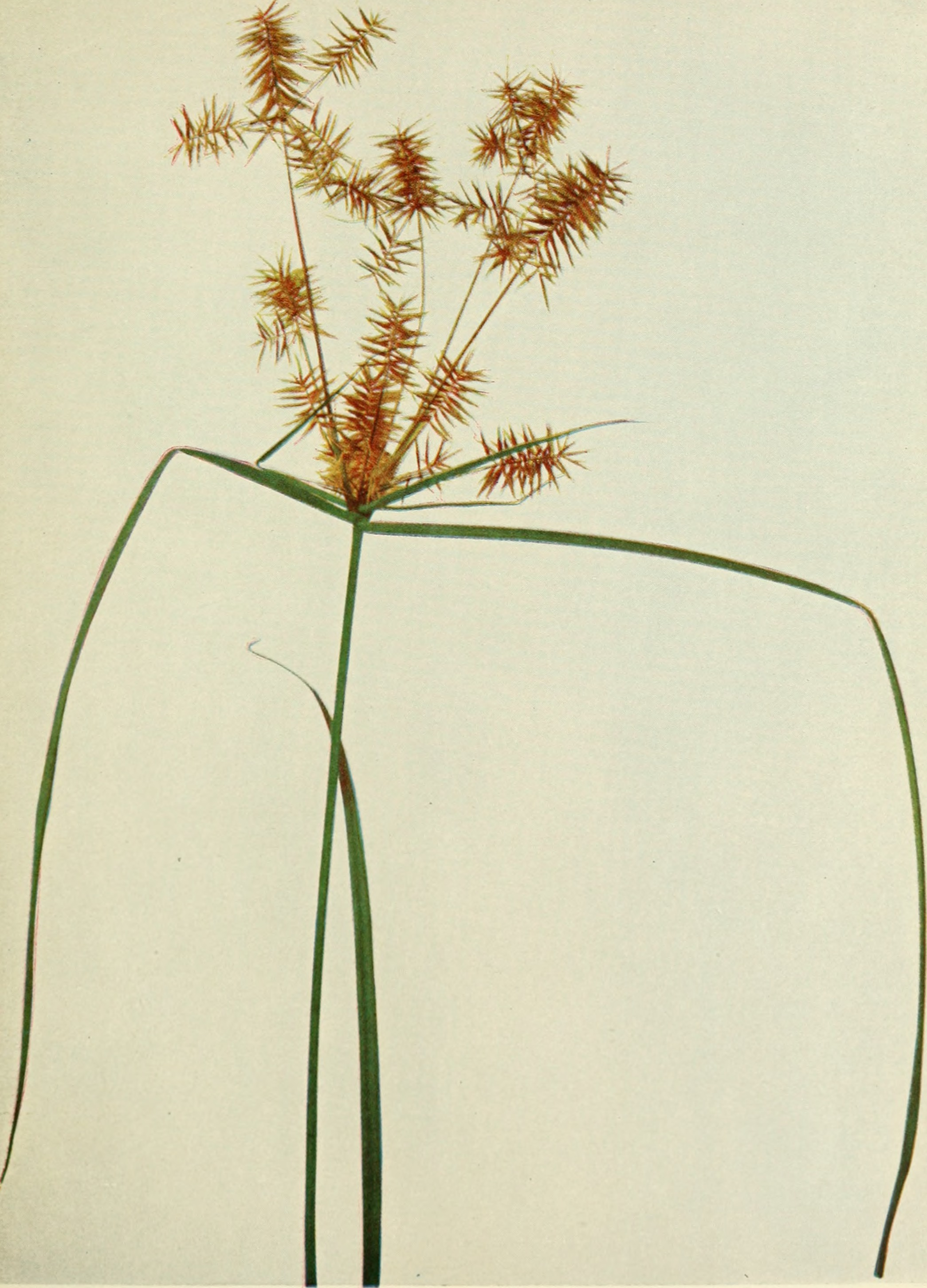 Image of strawcolored flatsedge