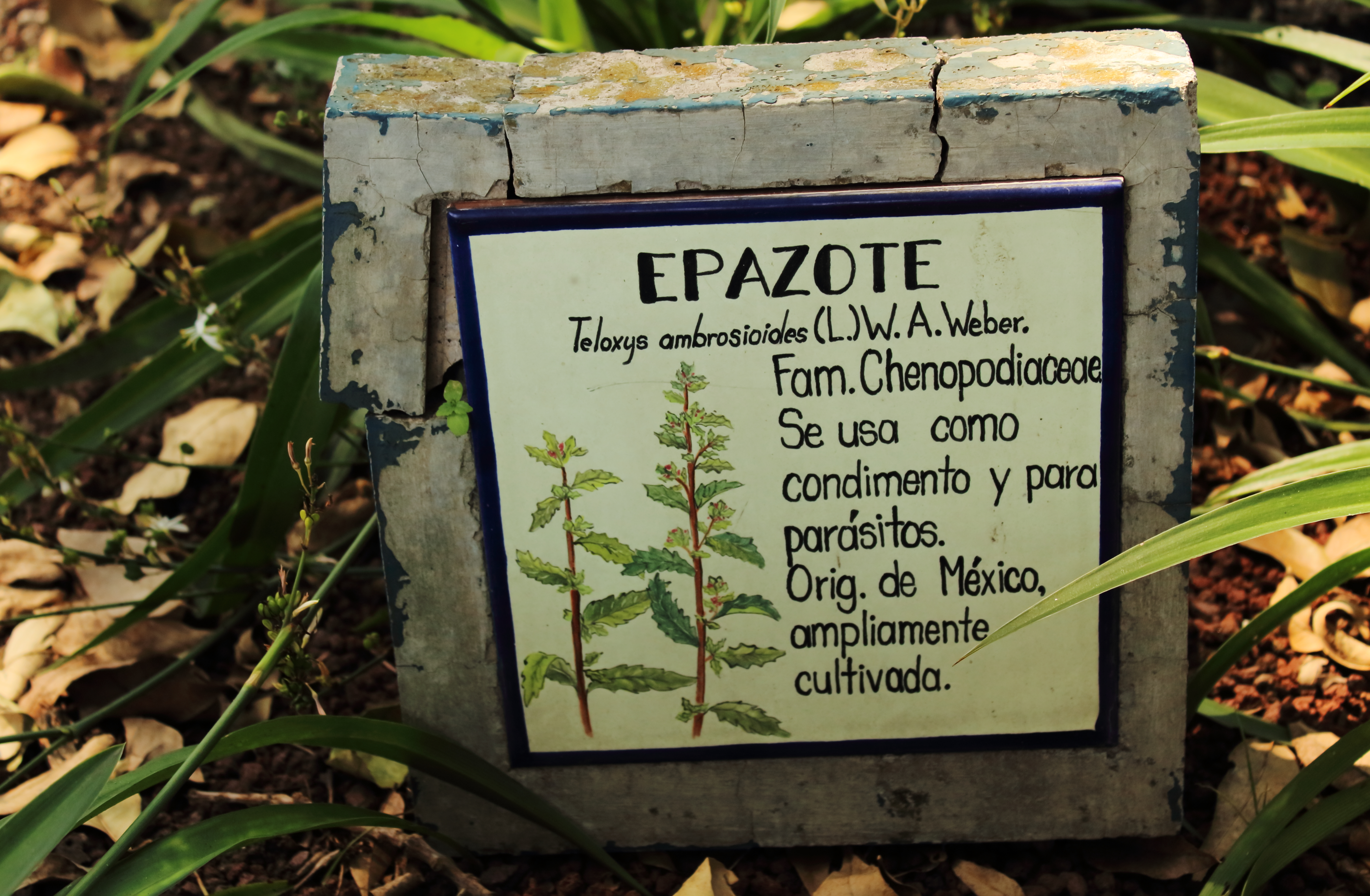 Image of Mexican tea