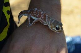 Image of Common Knob-tailed Lizard