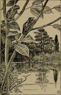 Image of Spring Peeper