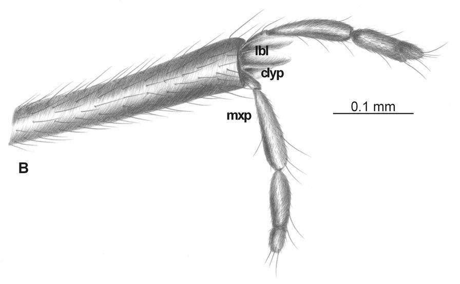 Image of <i>Elephantomyia pulchella</i> (Loew 1851)