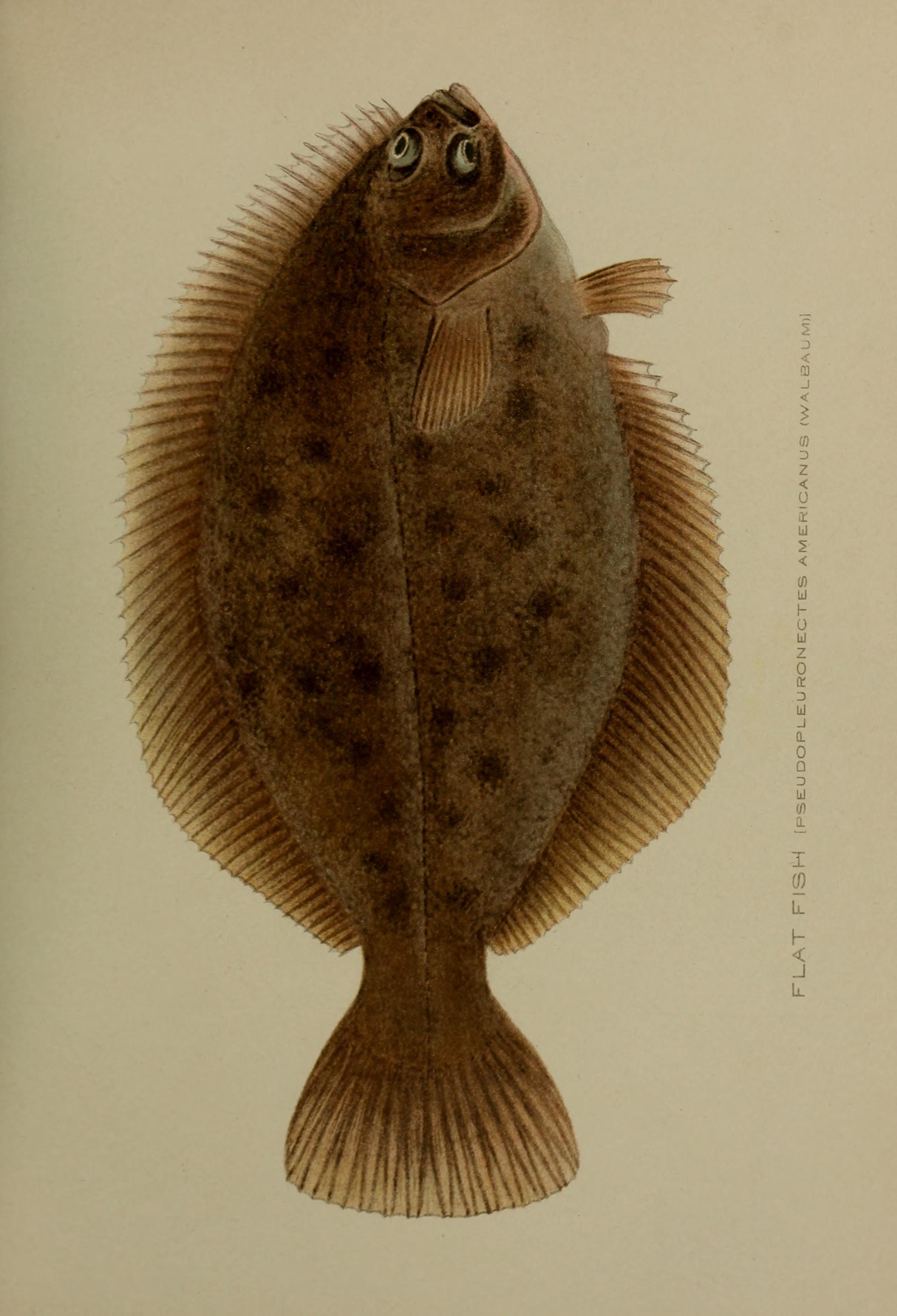 Image of <i>Pseudopleuronectes americanus</i> (Walbaum 1792)