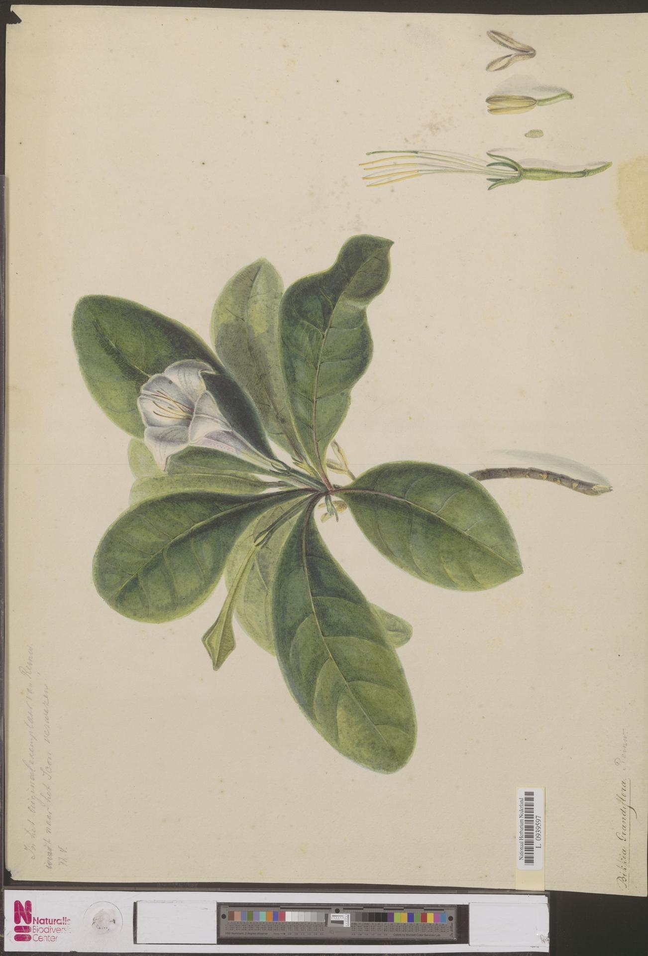 Image of Bikkia