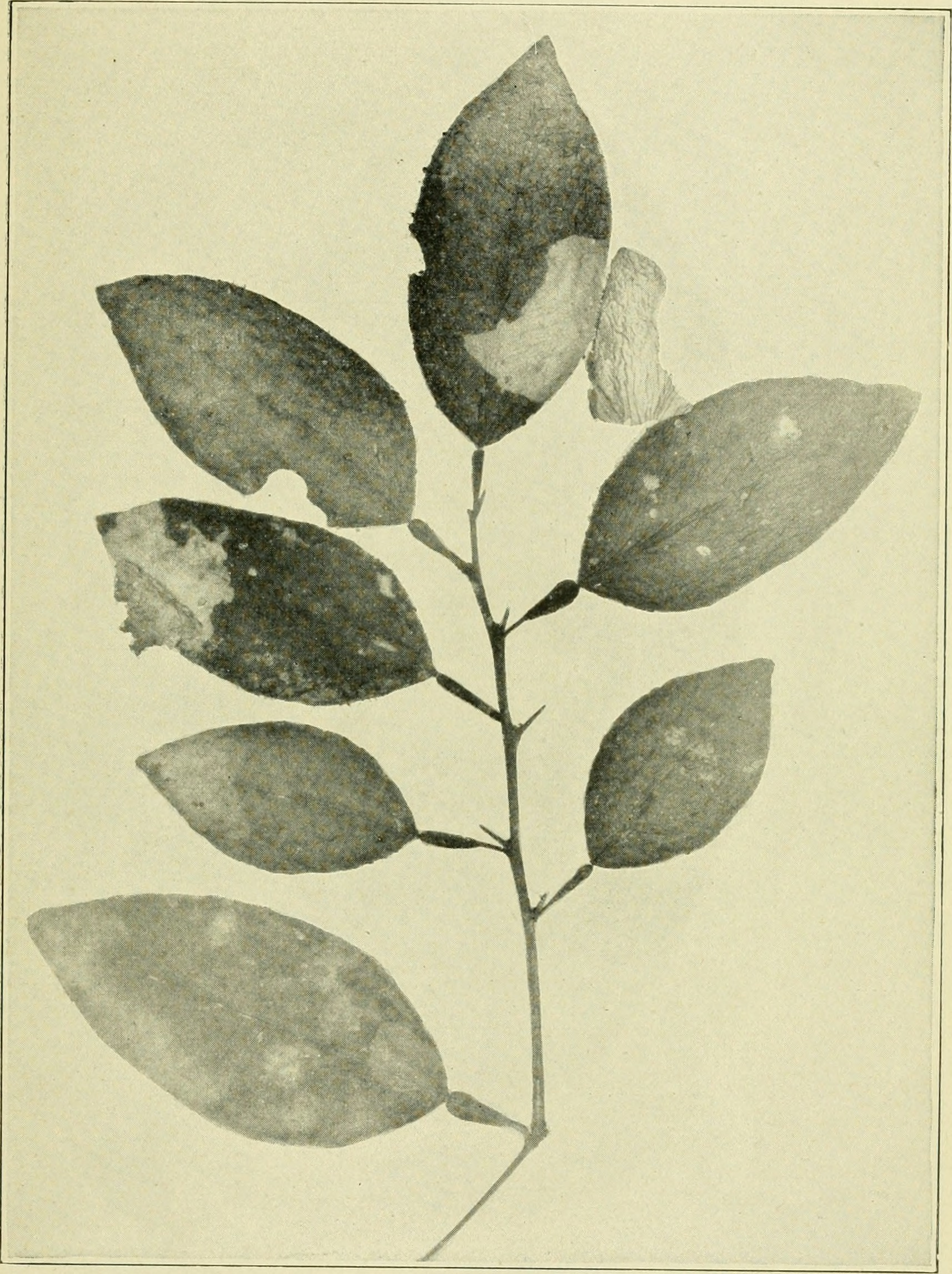 Image of Citrus blackfly
