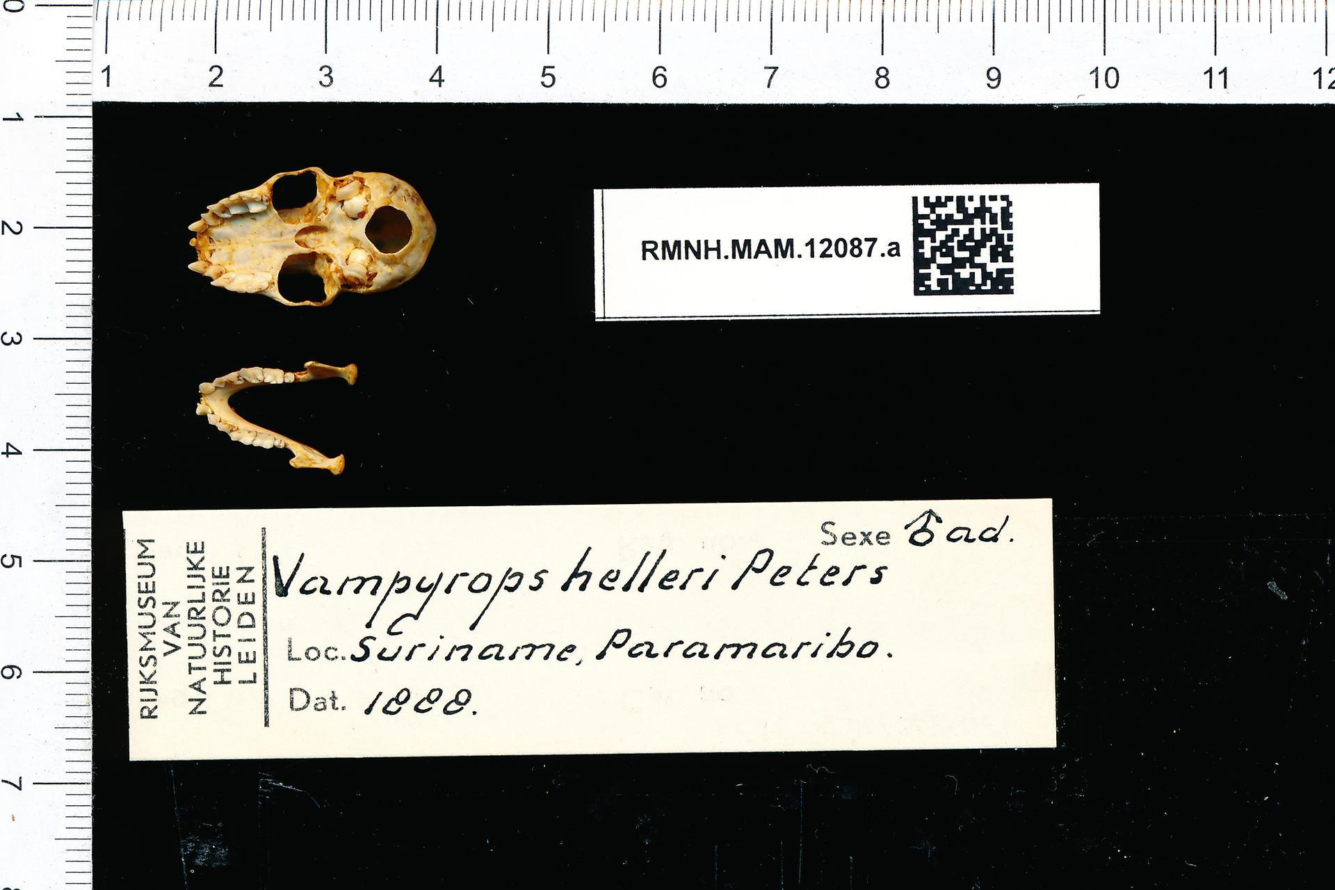 Image of Heller's Broad-nosed Bat