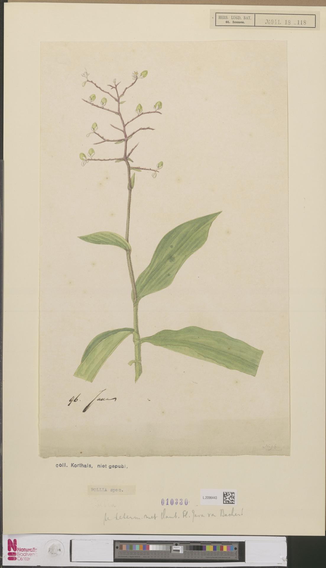 Image of Pollia