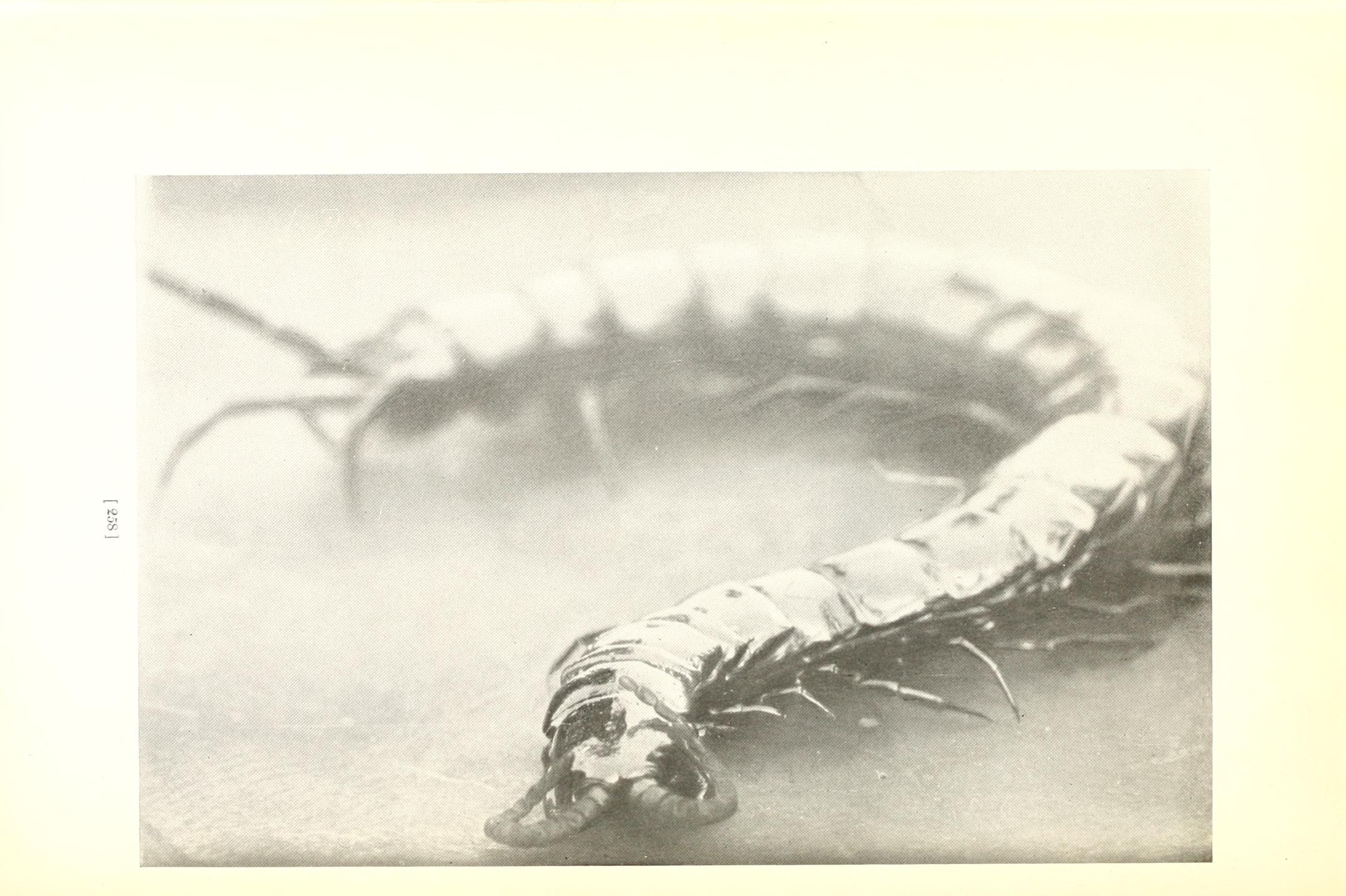 Image of Scolopendra