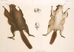 Image of Japanese Dwarf Flying Squirrel