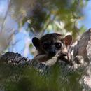 Image of Lesser Weasel Lemur