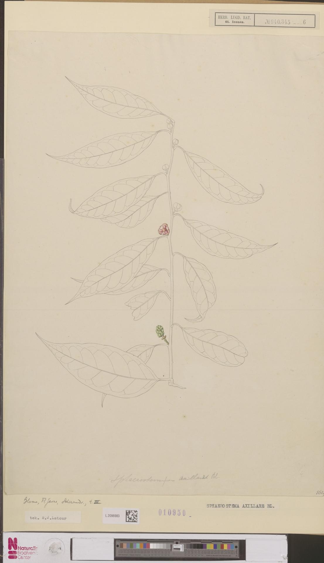 Image of Magnolia Vine
