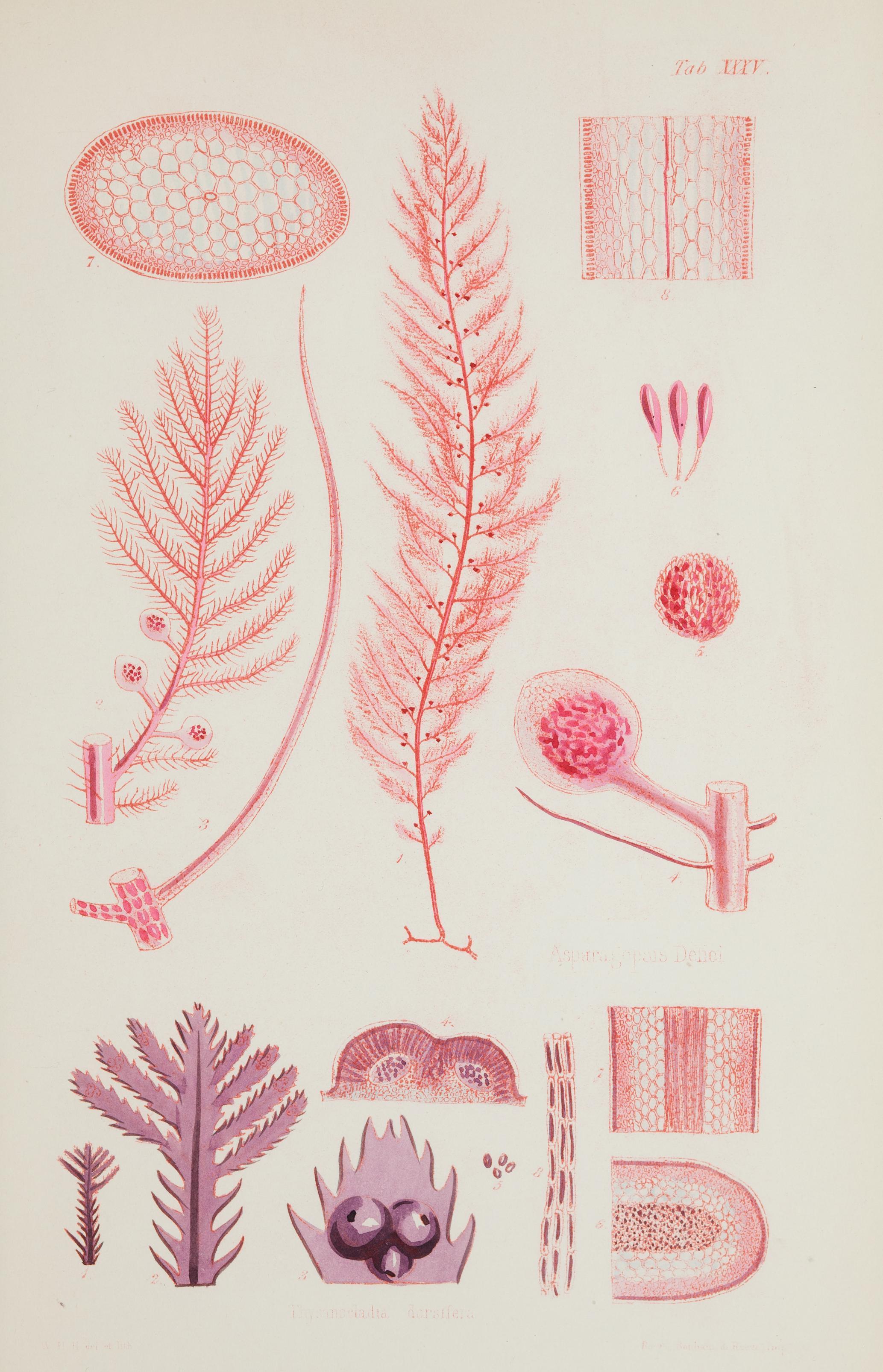 Image of Red asparagus algae