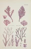 Image of <i>Jania cultrata</i> (Harvey) J. H. Kim, Guiry & H.-G. Choi 2007