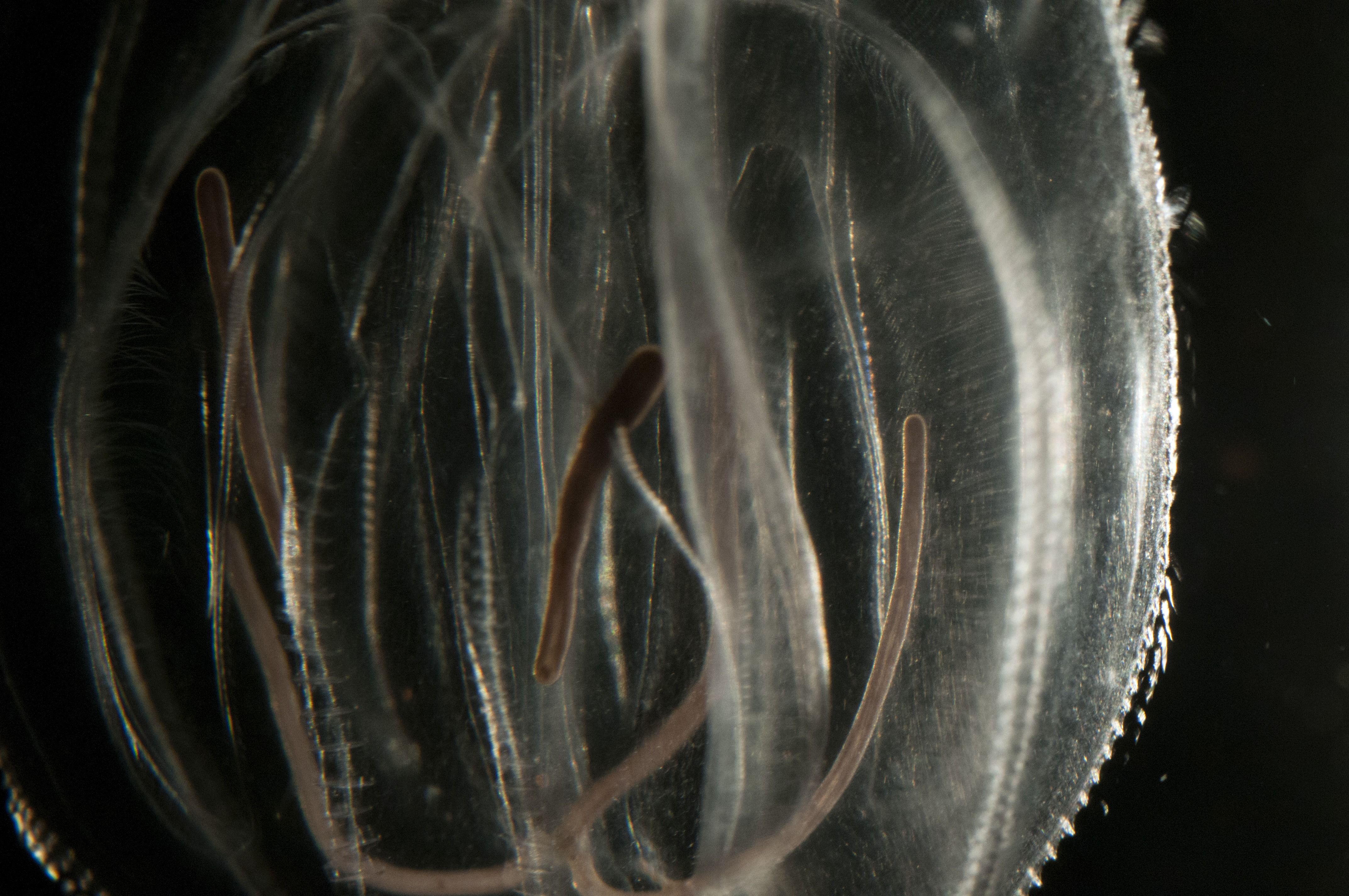 Image of Leidy's Comb Jelly