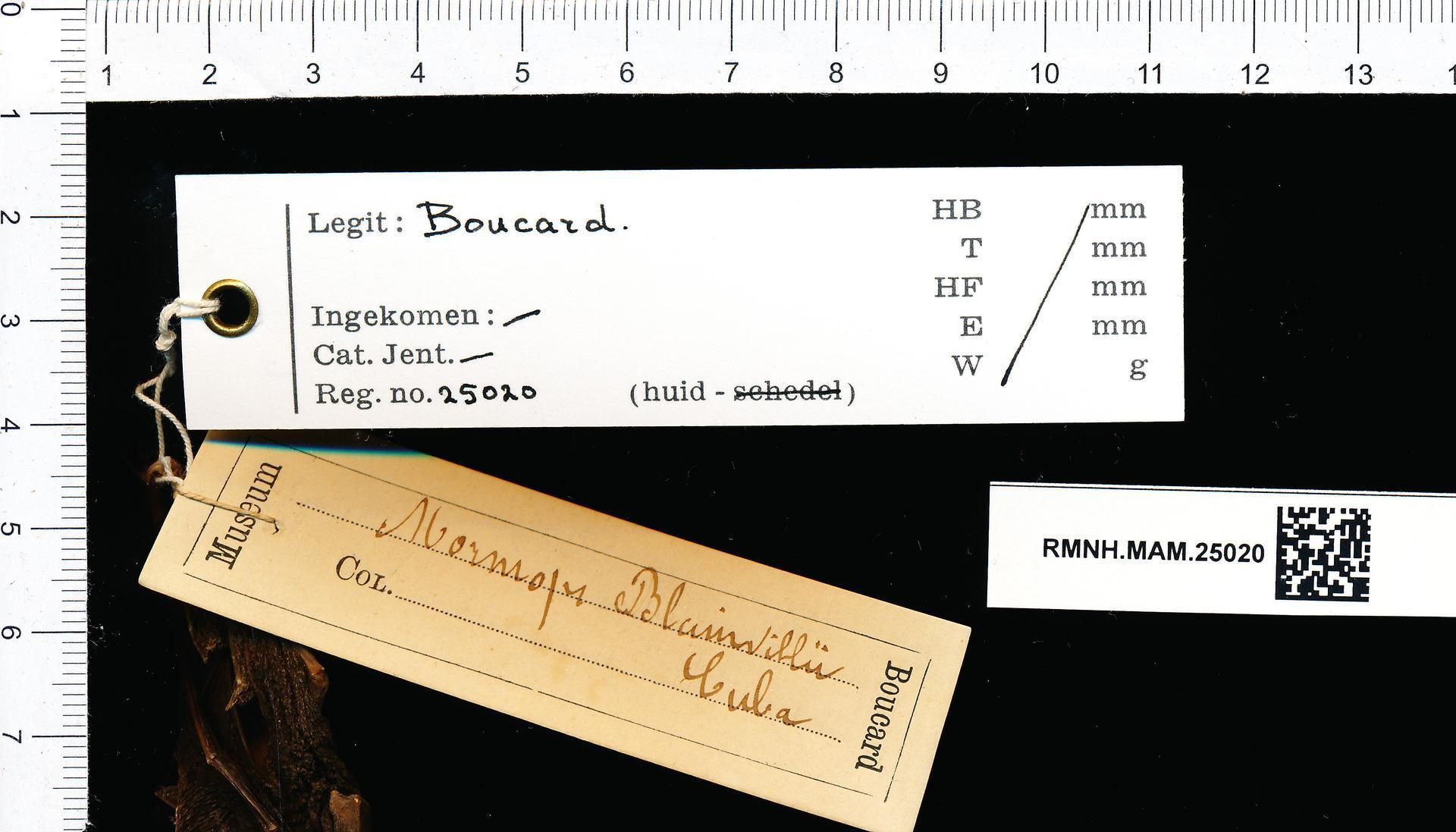 Image of <i>Mormoops blainvillei</i>