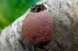 Image of Tubifera