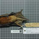 Image of Robust House Bat