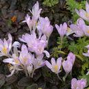 Image of <i>Colchicum davisii</i> C. D. Brickell