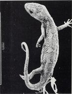Image of Natural Tree Gecko