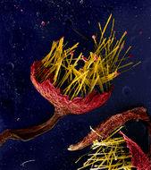 Image of Reticulariaceae