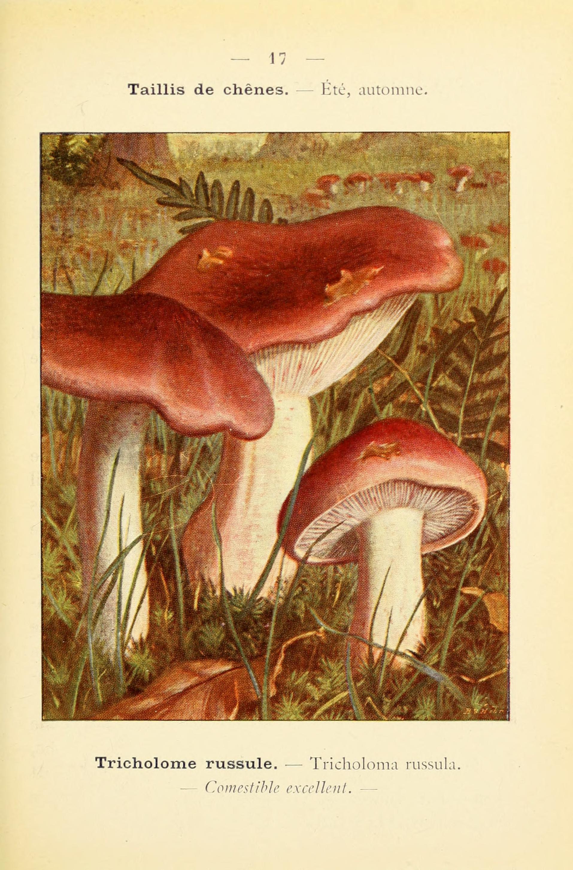 Image of <i>Hygrophorus russula</i> (Schaeff. ex Fr.) Kauffman 1918