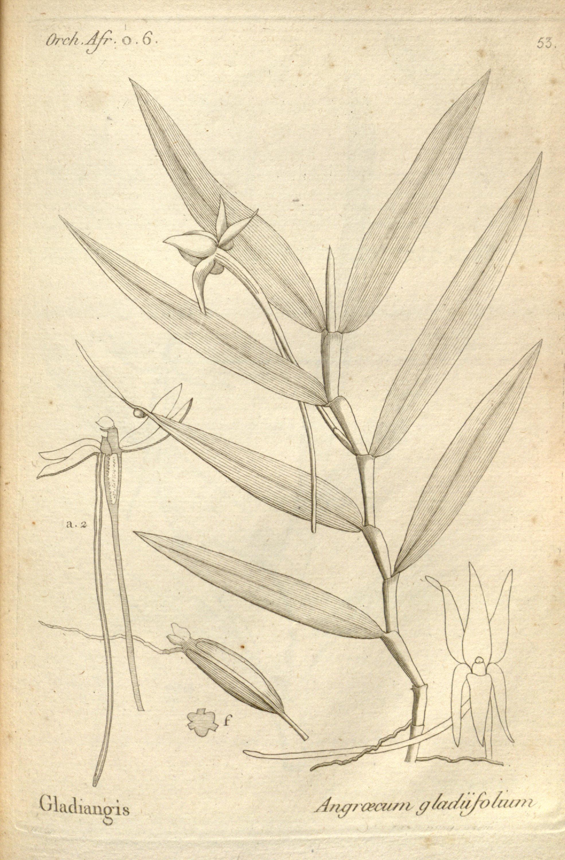 Image of <i>Angraecum mauritianum</i> (Poir.) Frapp.