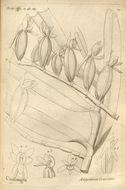Image of <i>Angraecum crassum</i> Thouars