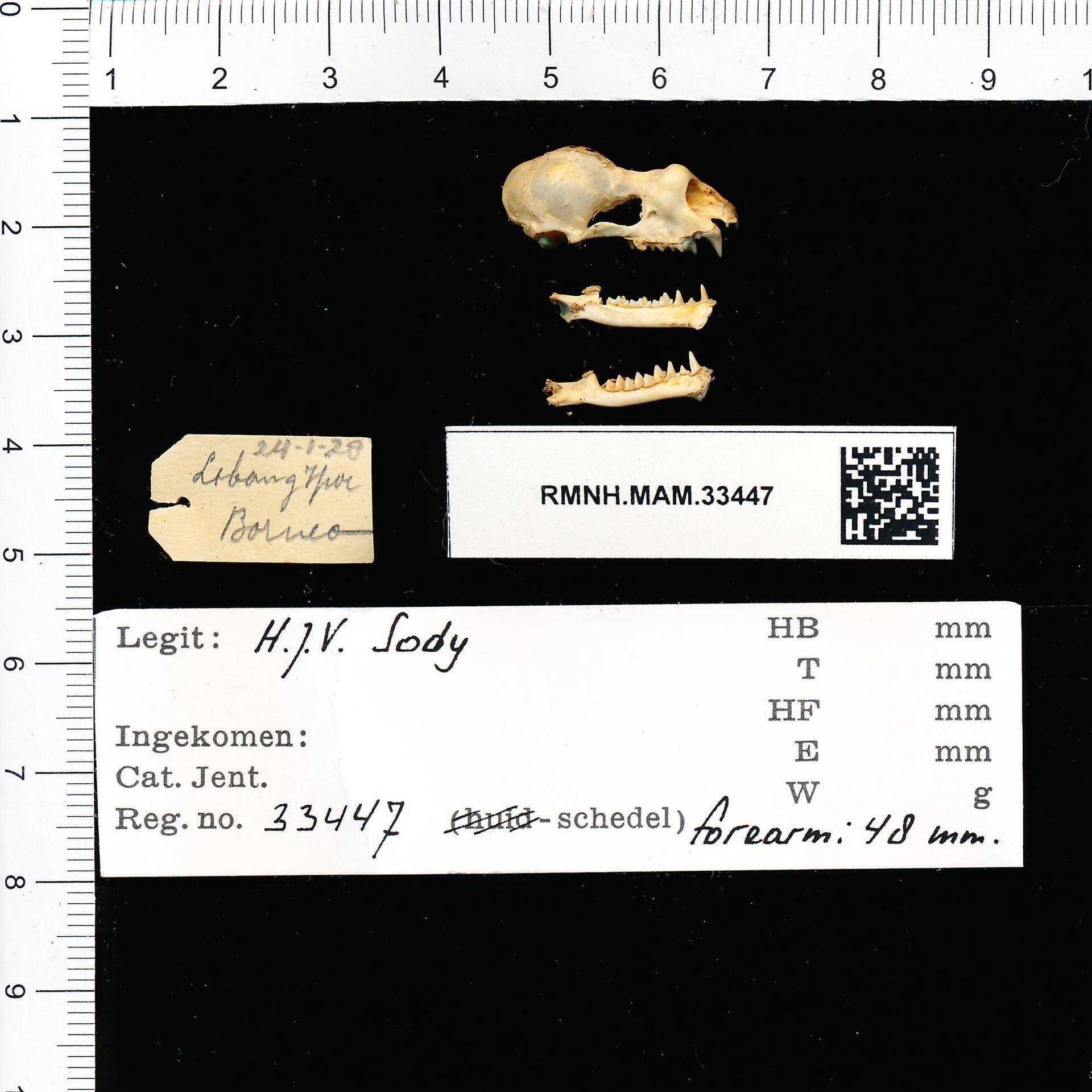 Image of Creagh's Horseshoe Bat