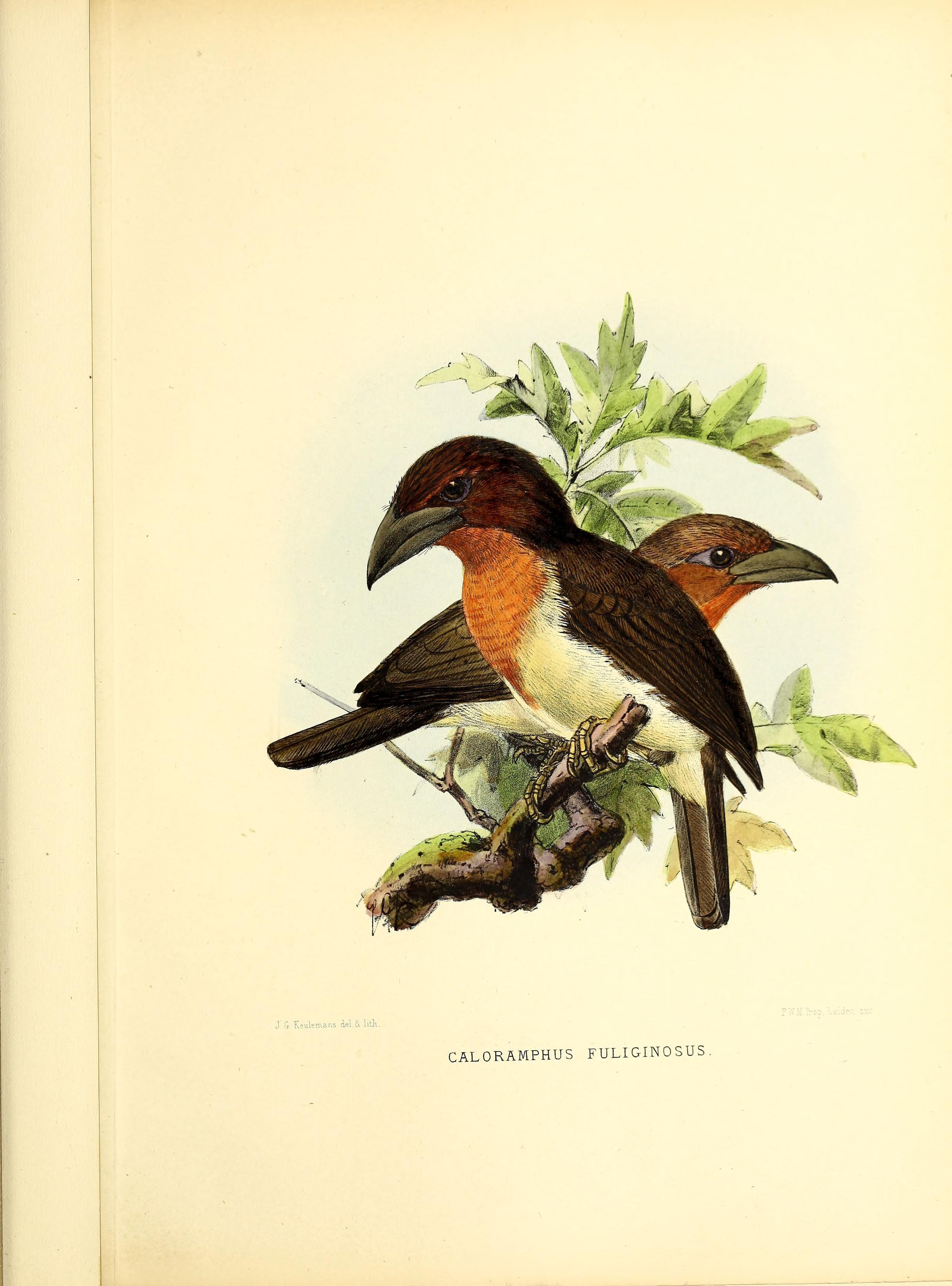 Image of <i>Calorhamphus fuliginosus</i>