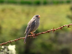 Image of Plain-colored Seedeater