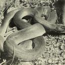 Image of D'albert's python