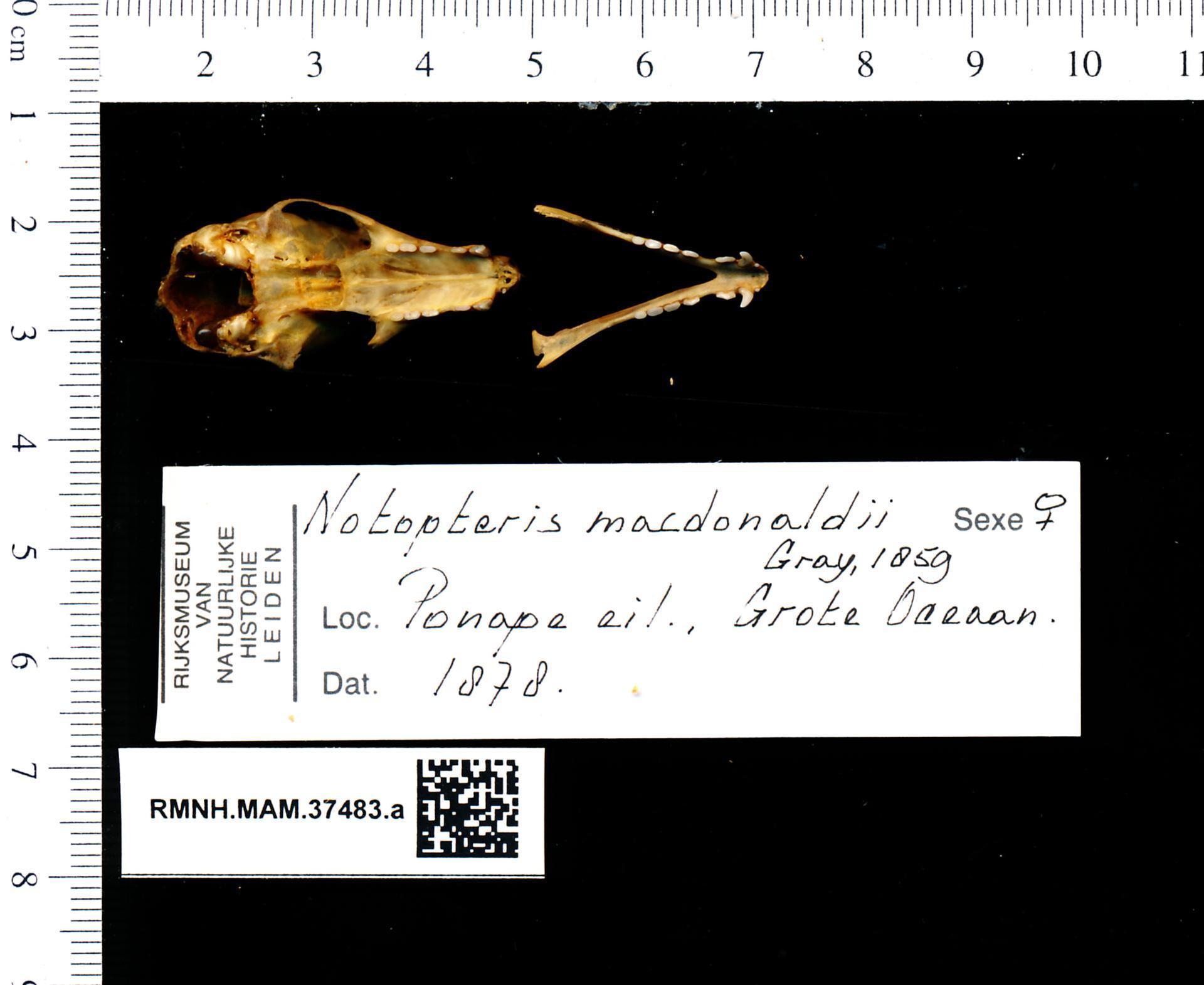 Image of Notopteris macdonaldi