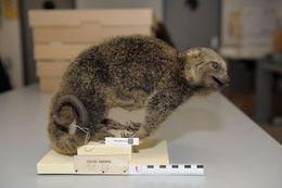 Image of Bear Cuscus