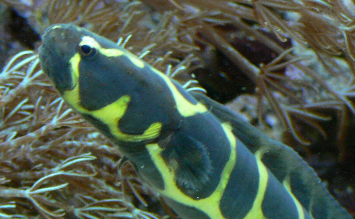Image of Convict blenny
