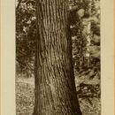 Image of Slippery Elm