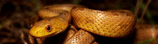 Image of Eastern Rat Snake
